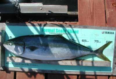2011年5月18日(水)若狭湾でブリの89cmを釣られました