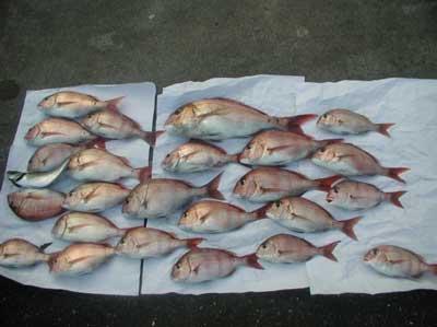 2011年8月28日(日)若狭湾でマダイの52cmを釣られました
