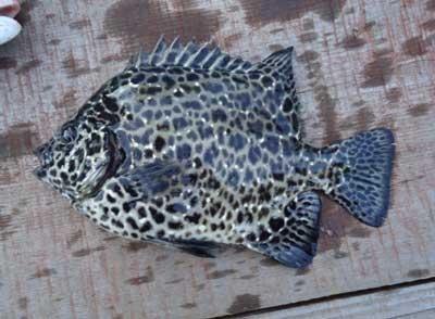 2011年10月20日(木)若狭湾でイシガキダイの20cmを釣られました