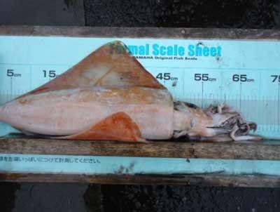 2011年12月3日(土)若狭湾でタルイカやシロイカを釣られました