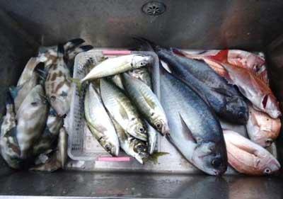 2012年1月13日(金)若狭湾で鯛やメダイや鯵を釣られました