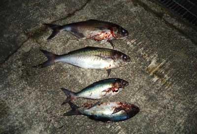 2012年1月22日(日)若狭湾でメダイの73cmを釣られました