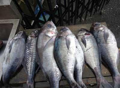 2012年2月25日(土)若狭湾でメダイや鯵を釣られました