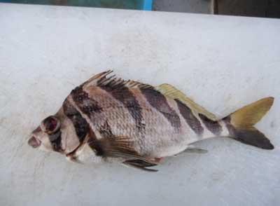 2012年3月1日(木)若狭湾でユウダチタカノハダイを釣られました