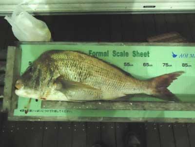 2012年10月13日(土)若狭湾で鯛の85.0cmを釣られました