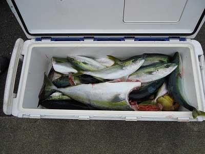 2013年4月23日(火)若狭湾で鯛やメジロやハマチやヒラマサを釣られました