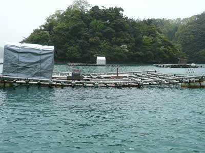 2011年5月8日(日)今年の岩牡蠣を育成していた筏です