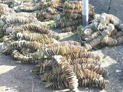 ホタテの貝殻に真牡蠣用の種牡蠣が付着したコレクターが届きました