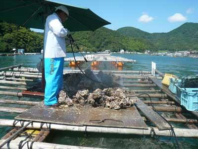 真夏におこなう育成岩牡蠣の出荷作業は暑さとの戦いです