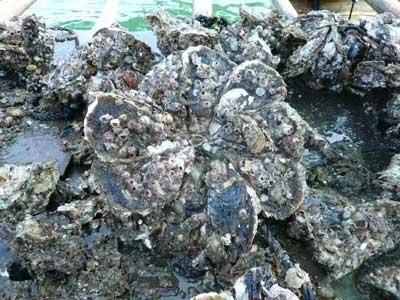 綺麗な形で良くそろった状態の岩牡蠣は掃除も分離も楽になります