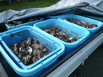 指定のコンテナに入れ50個単位で漁協に持ち込みます