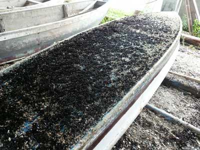 2011年11月20日(日)船底一面にムール貝が付着した状態の画像です