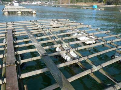 真牡蠣用に両親が元気な頃に製作した竹の筏です
