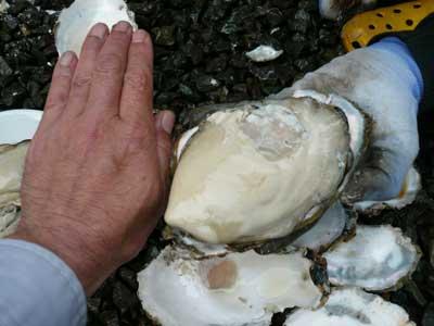 特大の岩牡蠣は大人の手のひらサイズもあります