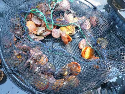 緋扇貝は網カゴ単位の配布となっています