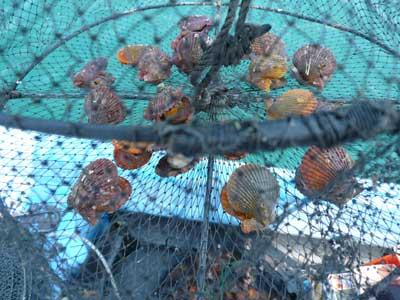 大きく育つように20個単位に分け5枚の網に分配しました
