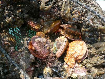 緋扇貝の寸法は目視で約4~5cm程度でした