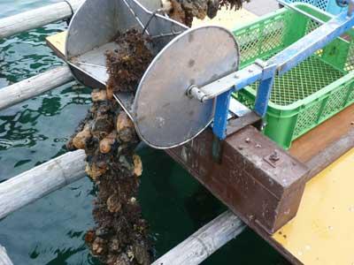 天候の良い日には真牡蠣の掃除に筏に出向いています