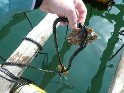 筏にロープで吊して3年育成します