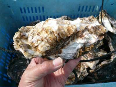 今年出荷の岩牡蠣です